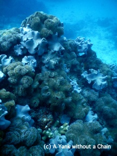 Soft corals at Challenger Bay