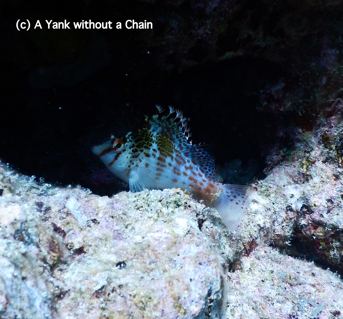 A hawkfish at Cod Hole on the Great Barrier Reef