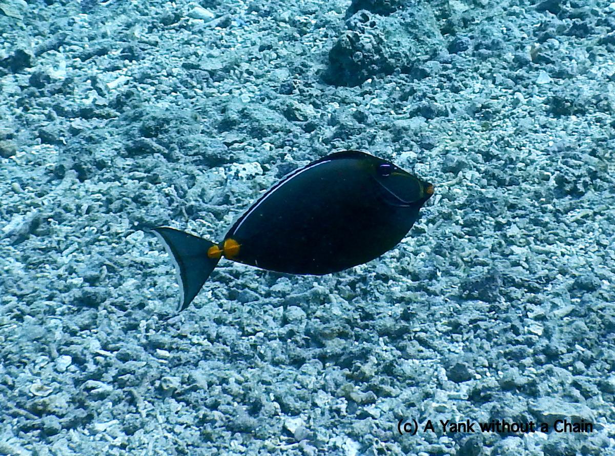 The gorgeous orange spine unicorn fish at Cod Hole