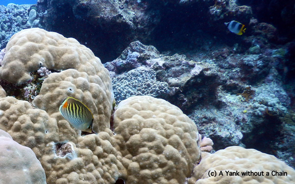 A spot banded butterfly fish at Cod Hole