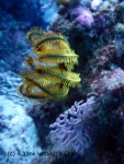 A vibrant yellow feather star at Two Towers