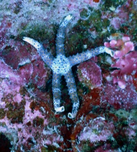 A sea star at Two Towers on the Great Barrier Reef