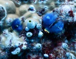 Blue christmas tree worms at Two Towers