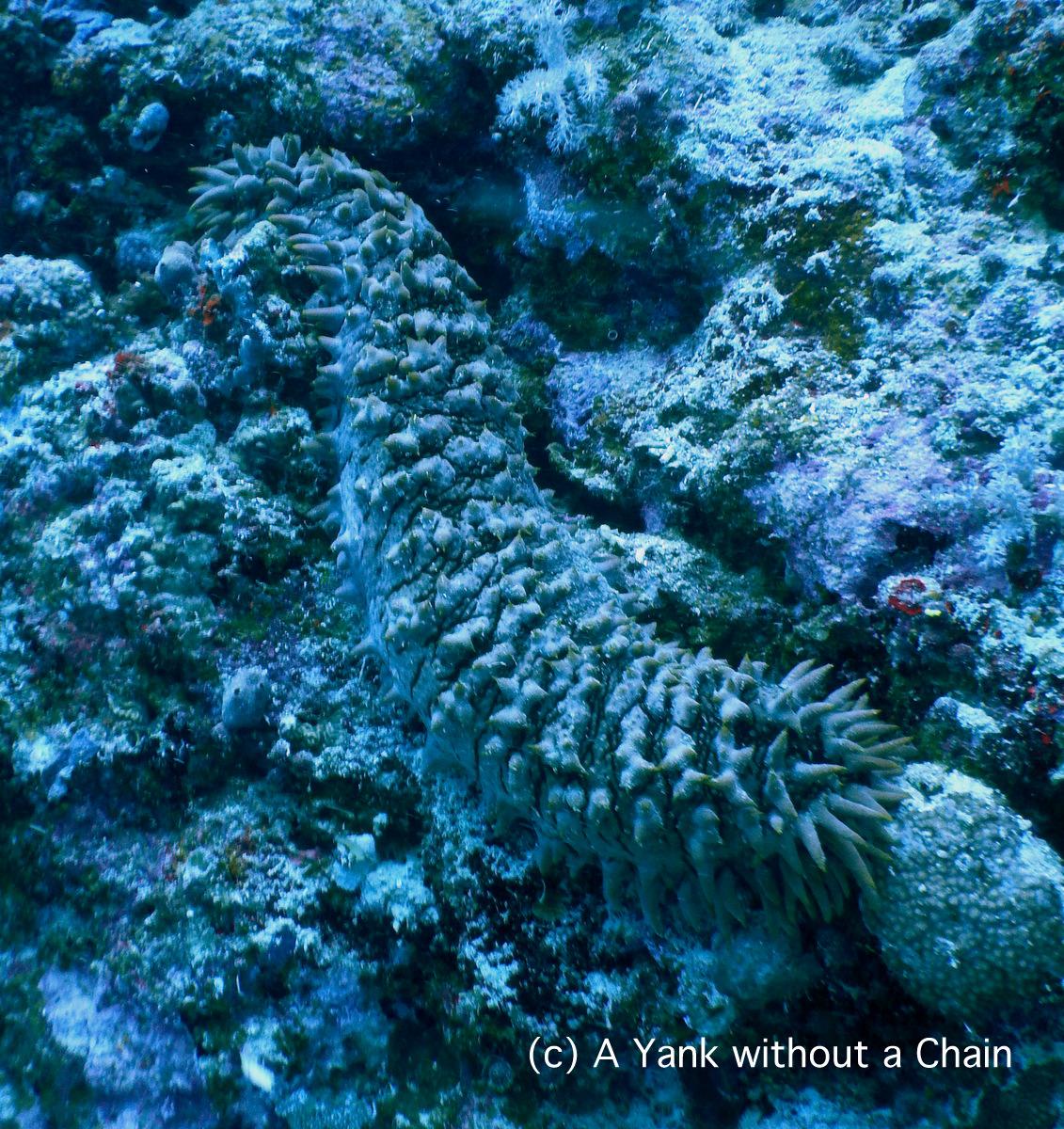 A pineapple sea cucumber at Pixie's Pinnacle