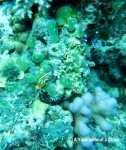 A blue and yellow nudibranch at Taka Range