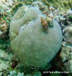 Snails on a boulder coral at Taka Range