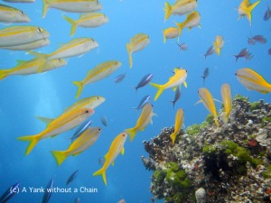 Schools of yellow lined snapper and fusilier at Steve's Bommie in the Great Barrier Reef