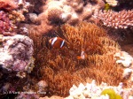 Anemone fish at Steve's Bommie