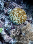 A yellow boulder coral at Steve's Bommie