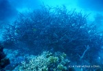 Staghorn coral at Princess Bommie