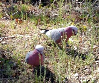 Galahs at Olive Pink Botanic Garden