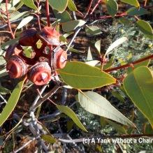 Red gum seeds at Olive Pink Botanic Gardens