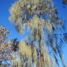 A majestic desert oak tree at Olive Pink Botanic Gardens