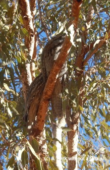 Tawny frogmouths on a tree near Uluru - they look like wood, but they're real birds!