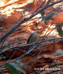 A grey-headed honey eater at the Garden of Eden