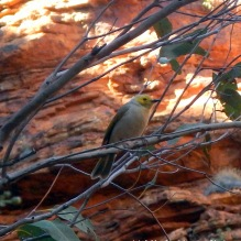 A grey-headed honey eater at the Garden of Eden