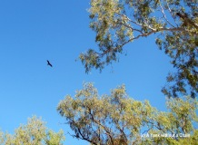 A gorgeous hawk at Mataranka