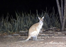A wallaby at our campsite!