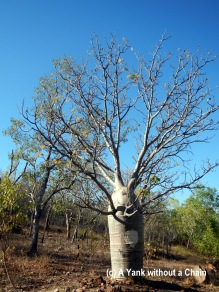 A boab tree at Katherine Gorge