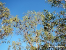 Just a few of the hundreds of flying foxes at Katherine Gorge