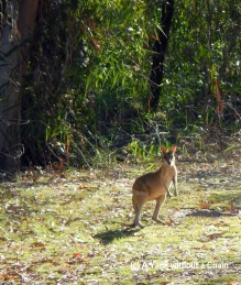 A wallaby at the start of the Baruwei walk