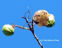 The seeds of the Kapok Tree - the cotton-like material has a variety of uses for aboriginal people