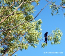 A wild Red Tailed Black Cockatoo at Nitmiluk national park