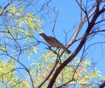 A beautiful bowerbird at Nitmiluk National park