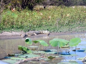 A saltwater crocodile sunbathing on the bank of the Mary River