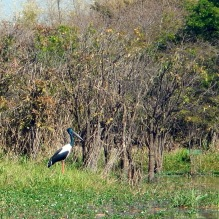 A Jabiru, or Black Necked Stork on the bank of the Mary RIver