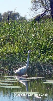 A white egret