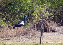 A jabiru showing off its impressive height
