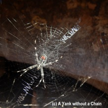 A creepy (yet harmless) St. Andrews Cross spider at Kakadu National Park