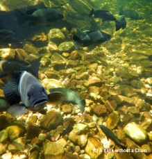 A curious sooty grunter at Florence Falls