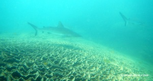Reef sharks at the Asho's Gap cleaning station, Ningaloo Reef